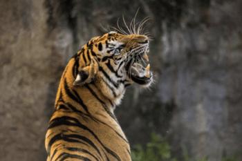Les griffes du tigre qui menacent votre perte de poids